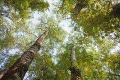 Coroas das árvores, álamos altos velhos foto de stock