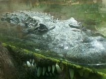 Coroc. Crocodile in zoo rabat royalty free stock photography
