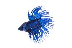 Coroe peixes de combate da cauda, peixes de combate siamese Fotos de Stock