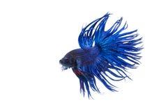 Coroe peixes de combate da cauda, peixes de combate siamese Imagem de Stock