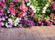 Corolful dekorativa petuniablommor som blommar på väggen och konkret golvbakgrund royaltyfri foto