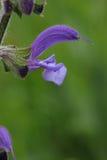 Corolla av ängclaryen eller den visa blomman för äng royaltyfria foton
