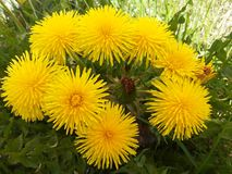 Corolla van paardebloemen stock afbeelding
