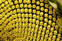 Corolla-Zonbloem stock afbeeldingen