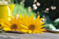 Corollas of yellow daisies Stock Photos