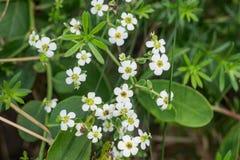 Corollata молочая цветя †Spurge « Стоковые Фотографии RF