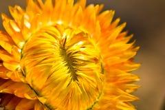 Corolle jaune Photographie stock libre de droits
