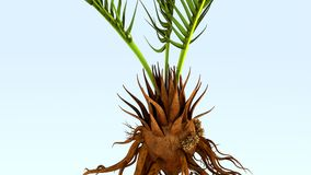 Corollid roots Stock Photos