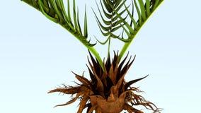 Corollid roots Stock Image