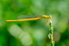 Coromandel沼泽箭蜻蜓 库存照片
