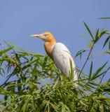 Coromandus orientale del Bubulcus dell'airone guardabuoi su bambù di Thaila Fotografia Stock