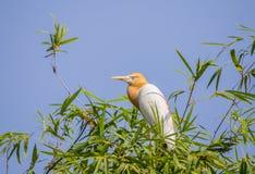 Coromandus orientale del Bubulcus dell'airone guardabuoi sull'albero di bambù Fotografia Stock Libera da Diritti
