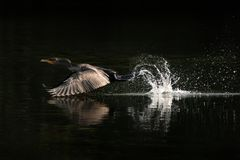 Cormorant Takeoff From Water Stock Photo
