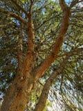 Corona afgana del pino Fotografia Stock Libera da Diritti