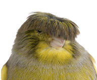 Corona amarela do gloster Foto de Stock