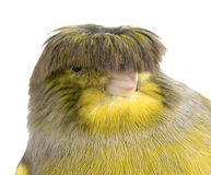 Corona color giallo canarino del gloster Fotografia Stock