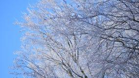 Corona congelata dell'albero sul fondo del cielo blu stock footage