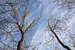 Corona de árboles con el cielo azul Fotos de archivo
