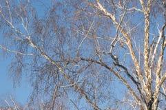 Corona de árboles deshojados contra un cielo azul en parque del invierno Fotos de archivo