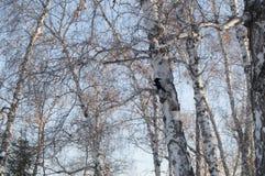 Corona de árboles deshojados contra un cielo azul en parque del invierno Imágenes de archivo libres de regalías