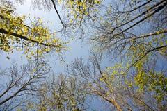 Corona de árboles en bosque Imagen de archivo