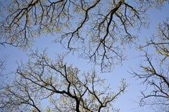 Corona de árboles en luz hermosa debajo del cielo azul Fotos de archivo libres de regalías