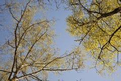 Corona de árboles en luz hermosa debajo del cielo azul Fotografía de archivo