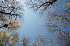 Corona de árboles en luz hermosa debajo del cielo azul Foto de archivo libre de regalías