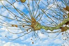 Corona de árboles planos con el cielo azul Imagen de archivo libre de regalías