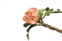 Corona de espinas o de flores de la espina de Cristo Foto de archivo libre de regalías