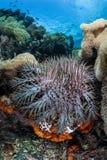 Corona de las estrellas de mar de las espinas imagen de archivo