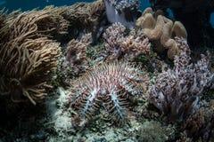 Corona de las estrellas de mar de las espinas fotografía de archivo libre de regalías