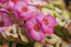 Corona de las flores de las espinas foto de archivo