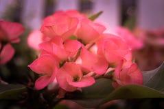 Corona de las flores de las espinas fotografía de archivo