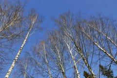Corona de los árboles de abedul en primavera, brillando intensamente blanca en el cielo azul Imagen de archivo libre de regalías