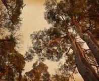 Corona de los árboles de pino en luz hermosa de la tarde. Foto de archivo libre de regalías