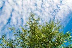 Corona de Ttree en fondo del cielo azul Fotografía de archivo libre de regalías