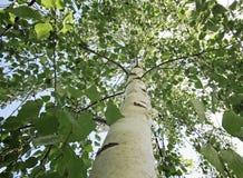 Corona de un árbol de abedul con las hojas jovenes verdes Imagenes de archivo