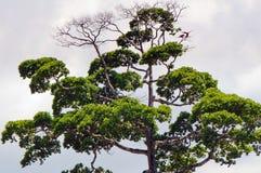 Corona de un árbol tropical dominante foto de archivo