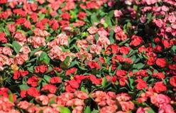Corona dei fiori delle spine Fotografie Stock Libere da Diritti