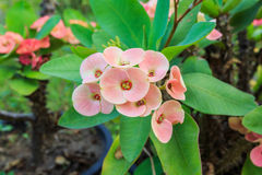 Corona dei fiori delle spine Fotografie Stock