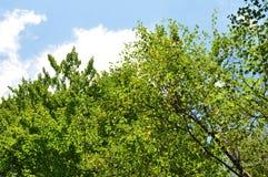 Corona del árbol Fotografía de archivo