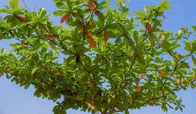 Corona del árbol Fotos de archivo libres de regalías