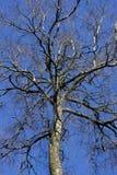 Corona del árbol con el enrrollamiento de ramas desnudas en cielo azul Fotos de archivo libres de regalías