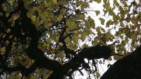 Corona del árbol con las ramas curvadas almacen de video