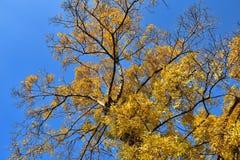 Corona del árbol de abedul en follaje de oro del otoño Imagen de archivo