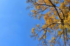 Corona del árbol de abedul en follaje de oro del otoño Imagen de archivo libre de regalías