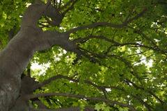Corona del árbol de Acer Fotografía de archivo