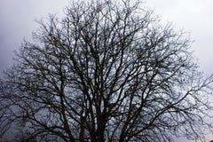Corona del árbol de nuez Foto de archivo libre de regalías