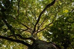 Corona del árbol de un árbol plano enorme Imagen de archivo libre de regalías